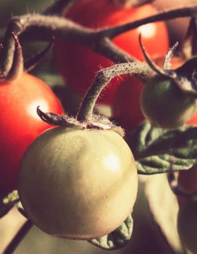 Tomatoe Gardening